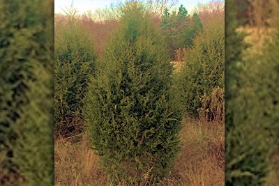 Land Between the Lakes Offers Free Cedar Christmas Trees