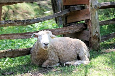 Going to the Baa Baa Shop: Sheep Shearing at the Homeplace