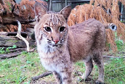 Bites for Bobcat
