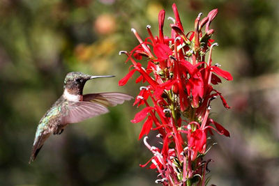 Celebrate Hummingbirds at Woodlands Nature Station