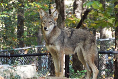 Wolf Week: A Howlin' Good Fall Break