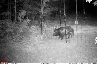 2020 Winter Feral Hog Eradication Campaign Improves Wildlife Habitat