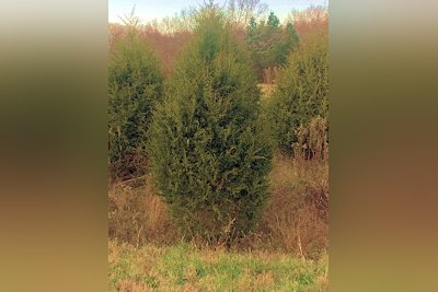 Free Cedar Trees Available at Land Between The Lakes