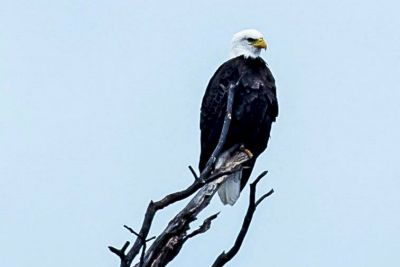 Land Between the Lakes to Host Bald Eagle Viewing Tours and Cruises